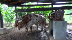 Traditional Central American cow pressed the sugarcane - Costa Rica Stock Footage