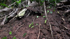 Leafcutter ants working in rainforest - Costa Rica, close up shot Stock Footage