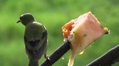 hummingbird eats fruit, mountain and rainforest background - Costa Rica - stock footage