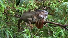 Iguana resting on tree - Costa Rica rainforest Stock Footage