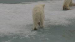 Slow motion - Polar bear cub close as it walks through slush sea ice Stock Footage