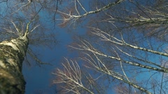 Tall trees (birches) against blue sky. View from below. Sunny weather footage Stock Footage
