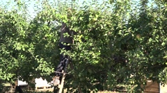 Peasant woman up on ladder pick apples from an apple tree. 4K Stock Footage
