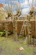 Winter pruning of living willow structure. Stock Photos