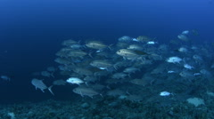 School of fish over coral reef - Red sea, Bluefin trevally, Caranx melampygus Stock Footage