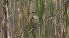 Bird Paddyfield Warbler singing on top of the reed and hunting insects Stock Footage