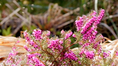 Pink heath with insects Stock Footage