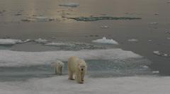 Slow motion - Polar bear and cub make way around melting sea ice Stock Footage