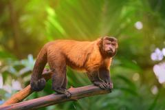 Brown capuchin monkey sitting among the trees Stock Photos