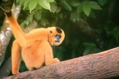 Yellow-cheeked gibbon female, Nomascus gabriellae Stock Photos