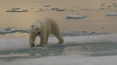 Slow motion - Mother polar bear crosses slushy sea ice to cub Stock Footage