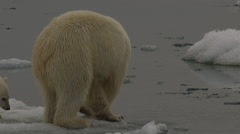 Slow motion - close on mother polar bear walking past cub and checks ice Stock Footage