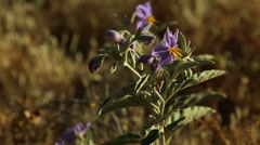 "A close up of a wild purple desert flower in an Israeli ""Negev"" desert - stock footage"