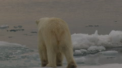 Mother polar bear at ice edge with pan to cub sitting Stock Footage