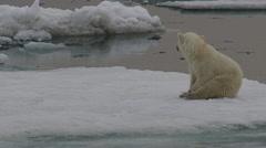 Lone polar bear cub sits on berg in ice flow Stock Footage