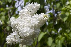 Blossoming Syringa vulgaris in Minsk a botanical garden, Belarus - stock photo