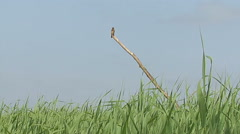 Bird Great Reed-warbler singing on top of the reed and hunting insects Stock Footage