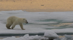 Slow motion - polar bear cub jumps and lands in slushy water climbs out Stock Footage