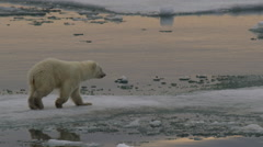 Slow motion - polar bear cub leaps from ice chunks crossing water Stock Footage
