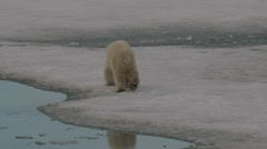 Slow motion - polar bear cub rolls on snow before scampering off to mom Stock Footage