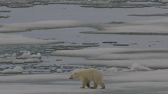 Slow motion - polar bear follows mum with massive leap and scampers - stock footage