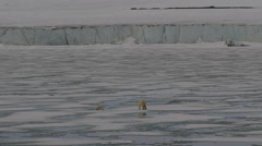 Wide Polar bear and cub walk across melting ice sheet towards glacier Stock Footage