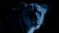 Female Lion In The Moonlight Stock Footage