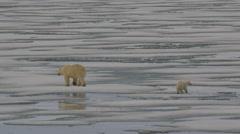 Slow motion - polar bear and cub walking away across melting sea ice Stock Footage