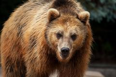 male brown bear walks arround in his territory - stock photo