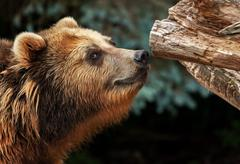 male brown bear snuffles on piece of wood - stock photo