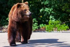 brown bear walks arround in his territory - stock photo
