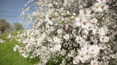 Almond tree at spring, fresh pink flowers on the branch of tree - Change focus - stock footage