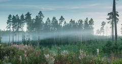 Time lapse of fog flowing through pine tree forest during sunrise Stock Footage