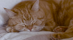Sweet Red Cat Sleeping Close-Up Muzzle Stock Footage