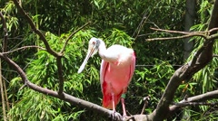 Roseate Spoonbill Perched on a Tree Branch Stock Footage
