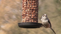 A long-tailed tit feeding on some nuts in a garden Stock Footage