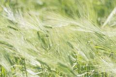 Close up of fresh green wheat plants in field - stock photo