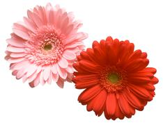 Red and pink flower - stock photo