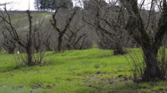 Camera moves along an orchard of nut trees Stock Footage