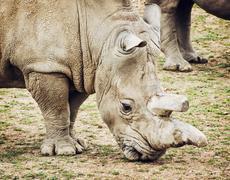 Profile portrait of the White rhinoceros - Ceratotherium simum simum - stock photo
