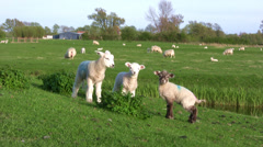 Stock Video Footage of Trio of comical, endearing spring lambs