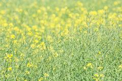 Seasonal rapeseed field, detailed agricultural photo - stock photo