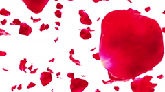 Rose Petals Falling on White (Loop with Matte) - stock footage