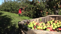 Tired gardener woman pick apple fruit off tree branches in autumn. 4K Stock Footage