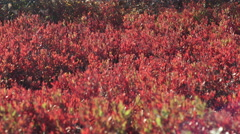 Camera Pans Left To Right Over Red Plants On Nantucket Islands's Moors Stock Footage