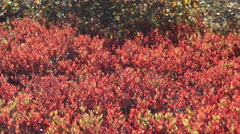 Red Leaves Blowing In The Wind On The Moors Of Nantucket Island, MA Stock Footage