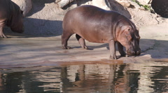 Hippos Walking into the water - stock footage