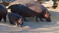 Hippos in Captivity Stock Footage