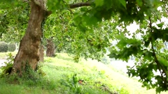 Beautiful green promenade spring, trees on a light wind Stock Footage