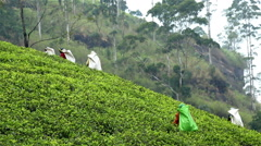 Harvest green tea, srilanka Stock Footage